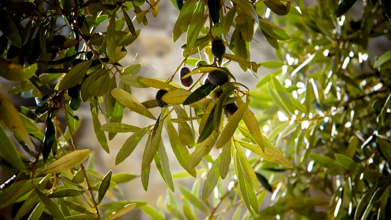 The Cultivar Frantoio